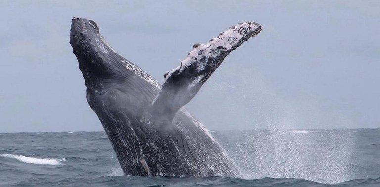 Observacion de ballenas jorobadas en Puerto Lopez