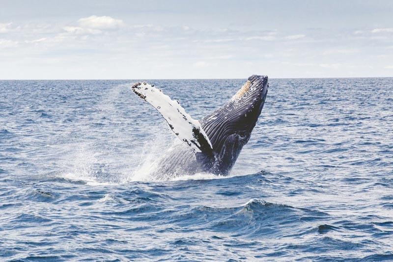 observacion de ballenas jorobadas ecuador